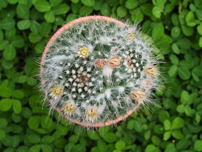 Close-up of dandelion flower on leaves