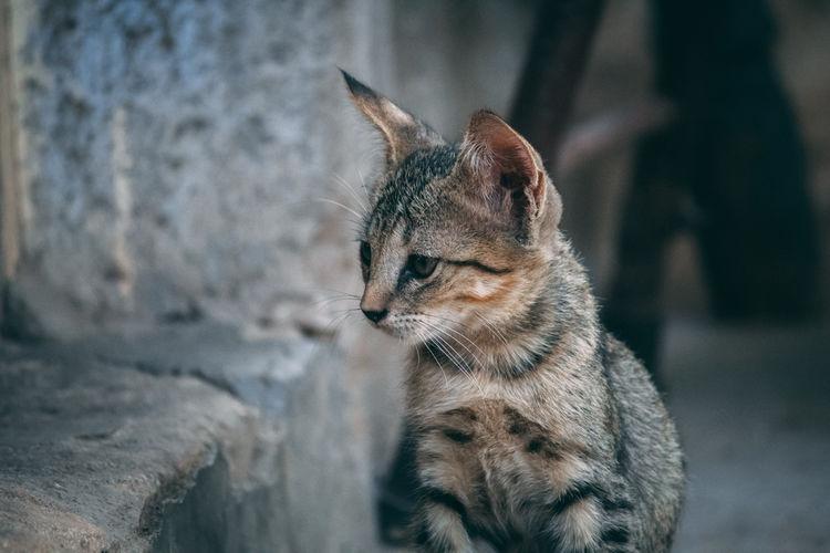 Whisker Undomesticated Cat HEAD Ear Kitten Stray Animal Animal Eye Cat Family Carnivora Cat Captive Animals Tabby