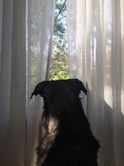 Portrait of black dog looking through window