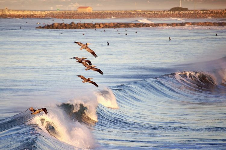 Pelicans flying over waves in sea during sunset