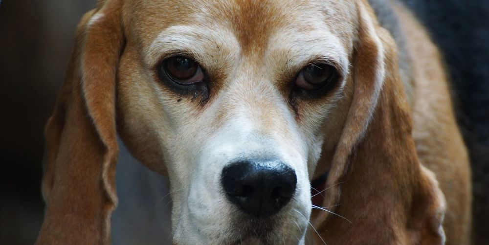 With puppy dog eyes ... Animal Portrait Animal Portraits Animal Themes Basset Beagle Beautiful Body Part Close-up Close-up Shot Cute Day Detail Dog Domestic Animals Eye Contact Looking At Camera Mammal No People One Animal Outdoors Pets Portrait Puppy Dog Eyes Thoughtful TRUSTY