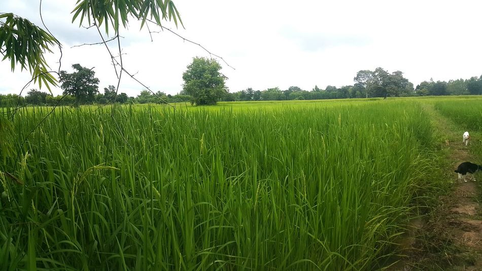 Green Color Field Farm Nature Beauty In Nature Outdoors Landscape Scenics Cereal Plant Nature_collection Rice Field Nature Countryhome Countryside Country Country Girl Beauty In Nature