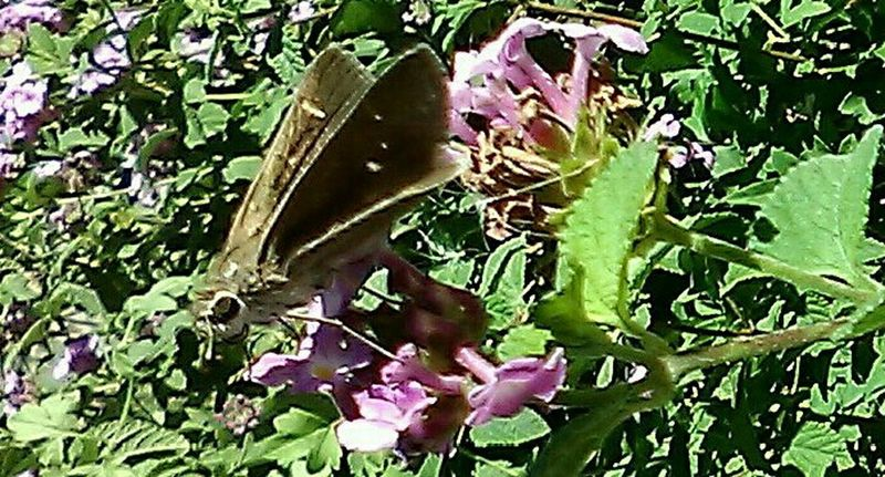 Butterfly - Insect Growth Nature Outdoors Day Plant Beauty In Nature No People Nature And Beauty Outdoor Photography Plants Close Up Photography Cellphone Photography Flower Head Beauty In Nature Thank You For Looking Flying Insect Pink Color