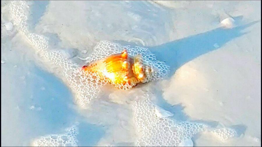 Fighting Conch Seashell Washed Up Beach Life Salt Life Sea Creatures Shells Shell Collecting Gulf Of Mexico Washed Ashore Beach Walk Walking The Beach Treasure Seaside Ocean Waves Oceanlife Shelling Lido Key Sarasota Florida