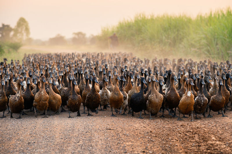 Flock of ducks with agriculturist herding on dirt road in countryside Agriculture Countryside Duck Duckling Nature Landscape Farm Land Sunset Rural Scene Flock Of Birds Herd Field Brown Poultry Rustic Stall Stable Animal Animal Themes Livestock Meat Warm Clothing Domestic Animals Outdoors