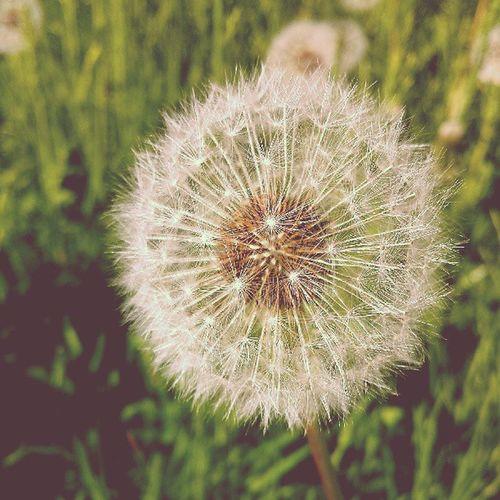 Pusteblume Blowball Dandelion Blume Flower Wünschdirwas Makeawish