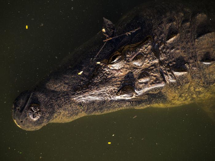 CUANDO ENTRÓ JESÚS EN LA BARCA, SUS DISCÍPULOS LE SIGUIERON. MATEO 8:23-27 Alligator Animal Themes Animal Wildlife Animals In The Wild Close-up Crocodile Day Nature No People One Animal Outdoors Reptile Sea Life Swimming UnderSea Underwater Water