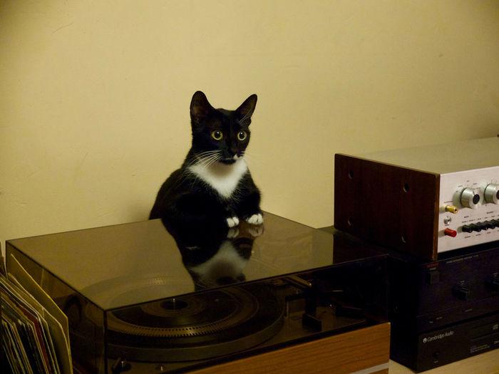 Omalée, accoudée sur la platine vinyles Omalée , leaning on the turntable vinyl Cat Lovers Cats Funny Cat Kitten My Cat Taking Photos