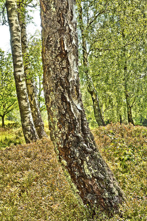 Beauty In Nature Bent Birches Birken Day Nature No People Outdoors Sommer Sommerwald Stamm Stem Surreal Tree