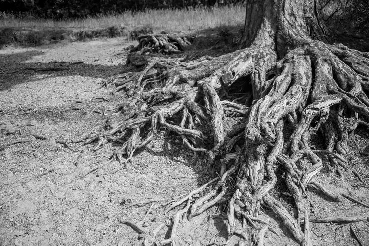 Root Tree Land Trunk Tree Trunk No People Nature Plant Day Sand Rope Strength Field Beach Tranquility Outdoors Forest Tangled Environment Close-up Complexity
