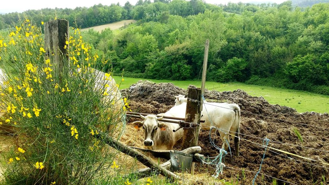 Animal Themes One Animal Lovephotography  Landscape_photography Beauty In Nature Landscape Travel Destinations Scenics Nature No People Cows🐮 Hay Tree Stroll Walk Walking Around Strolling Spoleto-Umbria <3 Nature Day Outdoors