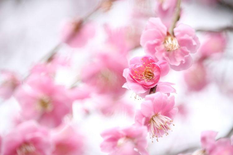 この前よりいっぱい咲いてた.˚೨✻₊⋆ 梅 梅の花 梅の里 Enjoying Life EyeEm Nature Lover Taking Photos 垂れ梅 Relaxing Okayama Canon Eoskissx7i Pinkflowers Pink