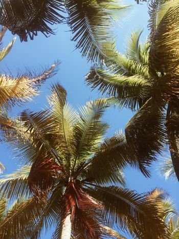 Coconut Palm Tree Day Leaf Low Angle View Nature Outdoors Palm Leaf Palm Tree Plant Sky Tranquility Tree Tropical Climate Tropical Tree