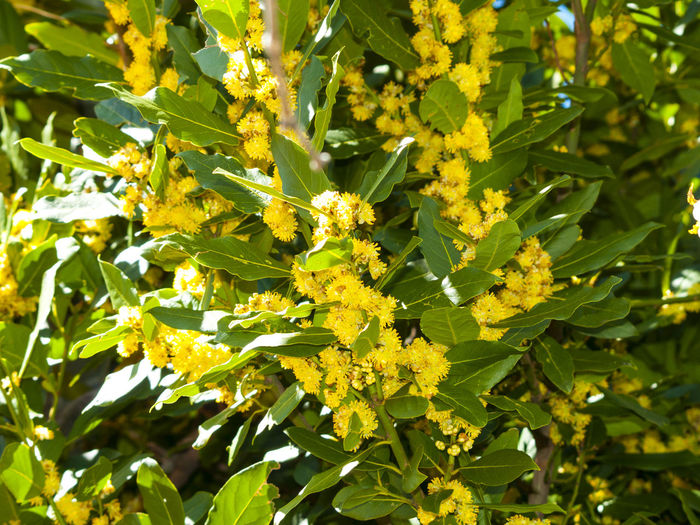 Aromatic Aromatic Plants Bay Leaf Beauty In Nature Blooming Close-up Environment Flower Flower Head Fragility Freshness Green Color Growth Laurel  Laurus Laurus Nobilis Leaf Nature Nature No People Outdoors Plant Spice Sunlight Yellow