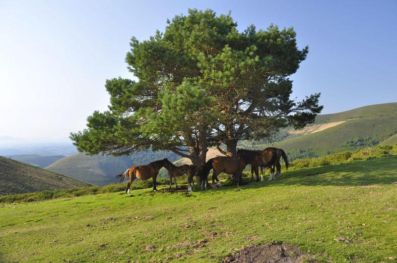 Hospitales CaminodeSantiago Caminoprimitivo Cordillera Countryside Domestic Animals Grass Green Color Horses Landscape Mountain Standing Sun Tranquil Scene Tree