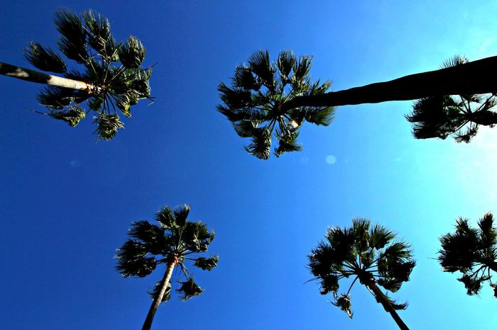 Tree Sky Nature Low Angle View Blue Beauty In Nature Palm Tree Outdoors No People Day Clear Sky Scenics Long Beach, California USA  Summer Time  Summer Vibes Summer Time  Nature Summer
