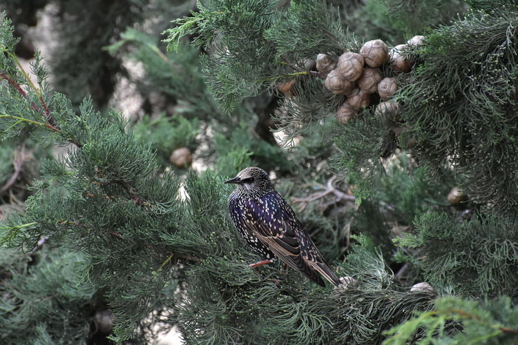View of starling bird perching on tree