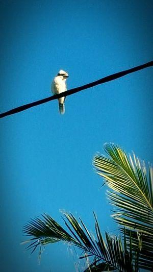 Takink Photo Loughing Bird Cookooboura Birds🐦⛅ Blue Sky Palm Tree Leaves ❤❤❤