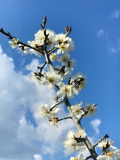 cherry flower Sky Plant Tree Beauty In Nature Low Angle View Growth Flower Flowering Plant Nature Fragility Day Branch No People Vulnerability  Freshness Cloud - Sky Springtime Blossom Tranquility Blue