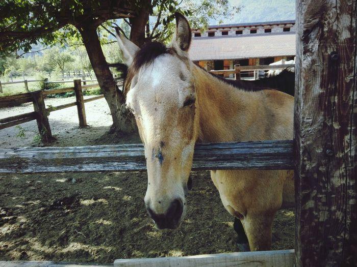 Tree Paddock Horse Standing Livestock