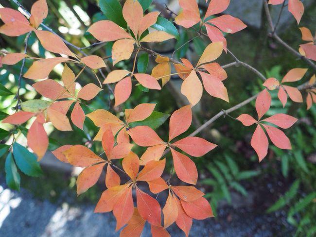 Kyoto Japan Kouetsuji Temple Autumn Autumn Colors Leaves Orange Color Beauty In Nature Olympus PEN-F 京都 日本 光悦寺 寺 紅葉 秋 オレンジ色 葉