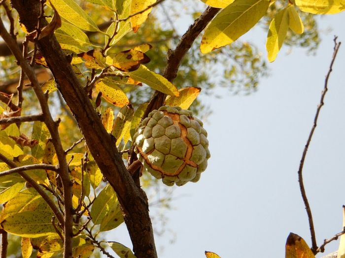 Close-Up Of Custard Apple On Tree