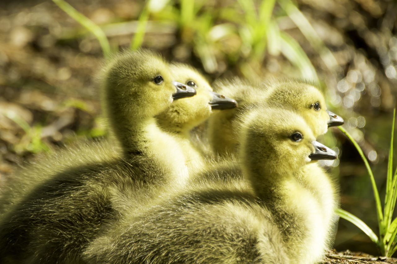 animal themes, animal, young bird, bird, animal wildlife, vertebrate, group of animals, animals in the wild, young animal, gosling, duckling, nature, close-up, focus on foreground, no people, goose, day, duck, animal family, beak, cygnet