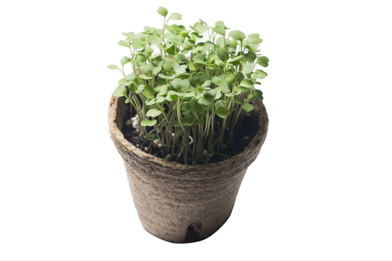 microgreen growing in organic pot isolated on white Vitamins Minerals Green Healthy Food Energy Artificial Light Non-gmo Organic Pot Nature Micro Soil Edible  Germ Leaves Raw Seedling Fresh Compost Bud Natural Plant Leaf Herb Aromatic Sprouts Young Greens Closeup Vegetables Potting Culinary Seasoning Diet Ingredient Growing Vegan Trendy Gardening Salad Vegetarian Greenery Garden Nutritious Seeds Garnish White Isolated