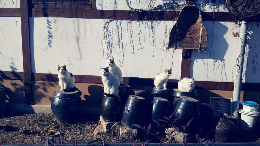 Korea Catstagram Jeonju Hanok Village Cute Cats