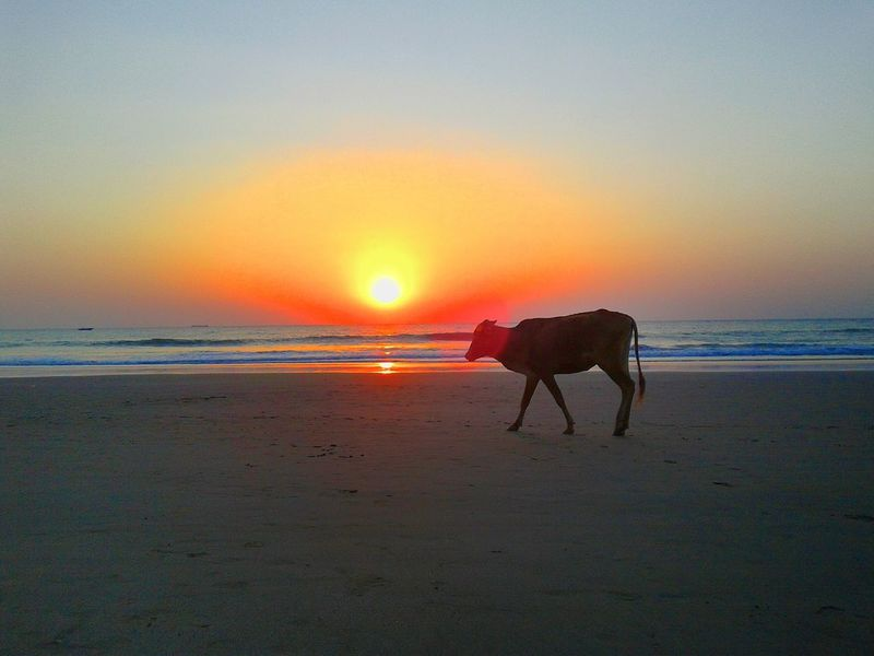 Sunset Beach Animal Wildlife Horizon Over Water ASIA Cow Asian Cow End Of The Day Colorful Horizon Magic Moments Goa Vagator Beach