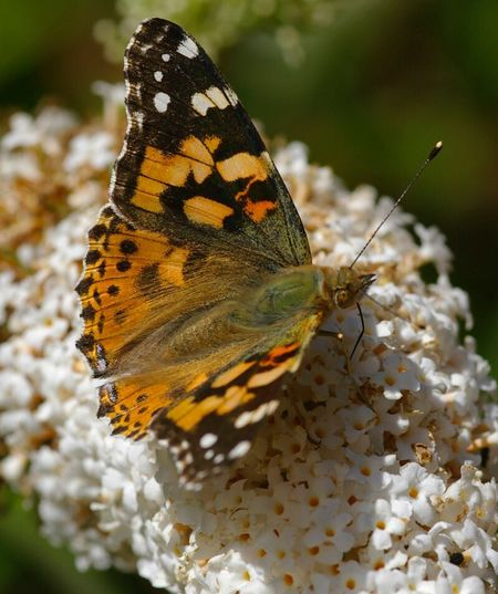 painted lady butterfly on buddliea . Insect One Animal Animal Themes Animals In The Wild Butterfly Flower Wildlife Close-up Butterfly - Insect Beauty In Nature Landscape #Nature #photography Beauty In Nature Animals In The Wild Invertebrate