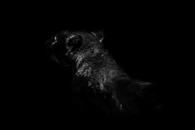 ambush Panthera Leo Ambush Animal Animal Head  Animal Themes Animal Wildlife Animals In The Wild Black Background Copy Space Dark Mammal No People One Animal Panther Portrait