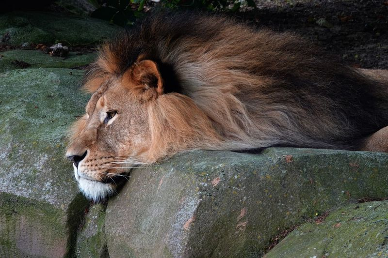 Mane Animal Head  African Lion Panthera Leo Lion Mammal Cat Animal Themes Animal Feline One Animal Animal Wildlife Lion - Feline Relaxation Animals In The Wild Lying Down Carnivora Lioness Nature Zoo No People Vertebrate Resting Day