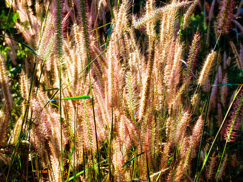 Foxtail grasses in the sun Agriculture Annual Back Beautiful Beauty In Nature Botany Bright Bristly Clear Sky Clump Field Foxtail Fresh Grass Growing Growth Land Landscape Marsh Meadow No People Outdoors Plants Quiet Tropical Climate