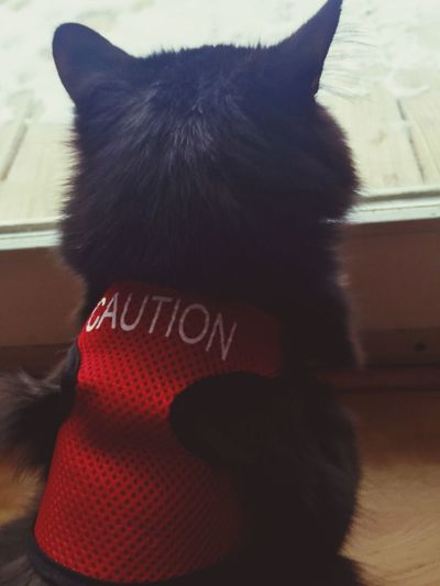 Cat Cat Lovers Feline Animal Looking Out Of The Window Jacket Caution - my daughters cat wear his jacket when company comes over😼 Michigan United States