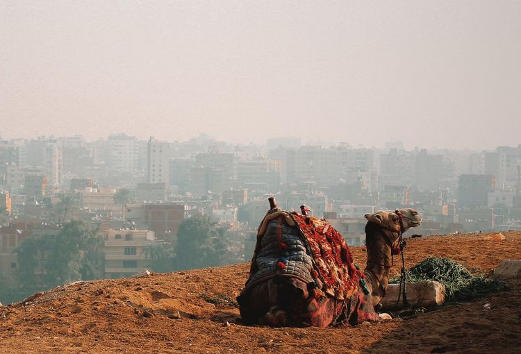 Cammel with background view of el cairo