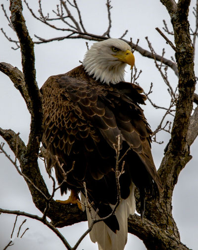 Bald Eagle Portrait Animal Animal Themes Animal Wildlife Animals In The Wild Bald Eagles Bird Bird Of Prey Branch Day Eagle Low Angle View Nature No People One Animal Outdoors Perching Plant Tree Vertebrate