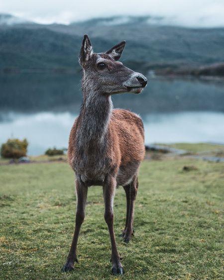 Full Length Of Deer Standing On Field