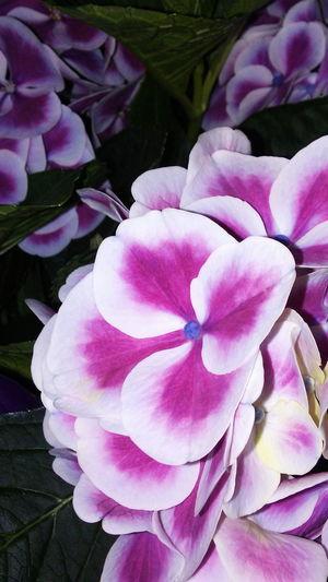 Purpleflowers Green Leaves Photographer Enjoying Life Taking Photos Photography ❤ EyeEm Nature Lover First Eyeem Photo Love ♥ Beatiful Nature Villanueva'sphoto Beatifulcolor