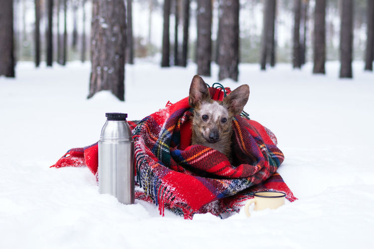 Little dog with big ears wrapped in red checkered plaid on a snow. picnic in winter forest.