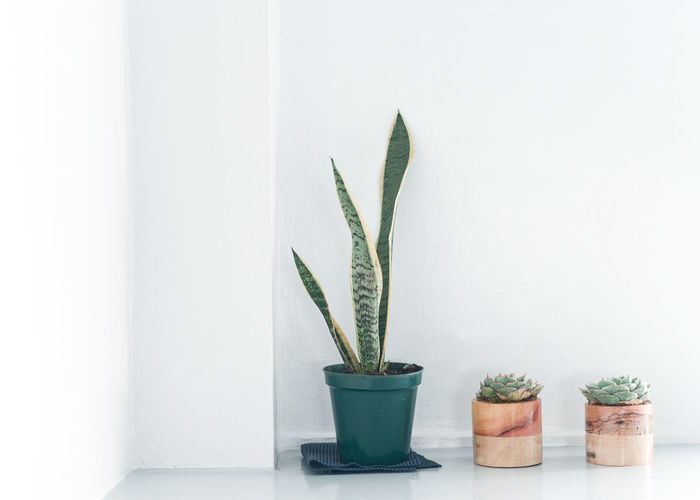 Beauty In Nature Cactus Close-up Copy Space Day Flower Pot Freshness Green Color Growth Houseplant Indoors  Leaf Nature No People Plant Plant Part Potted Plant Succulent Plant Wall - Building Feature