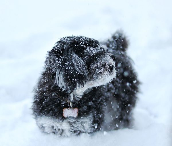 Winter Snow Cold Temperature Animal Nature One Animal Snowing Animal Wildlife Outdoors Day Animal Themes Dog Pet Puppy PuppyLove No People Maltipoo Poodle Maltese Close-up Doggy Wintertime Winter Snow Day Snow ❄