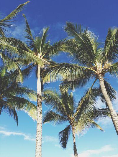 Palm Trees Palm Tree Tropical Paradise Hawaii