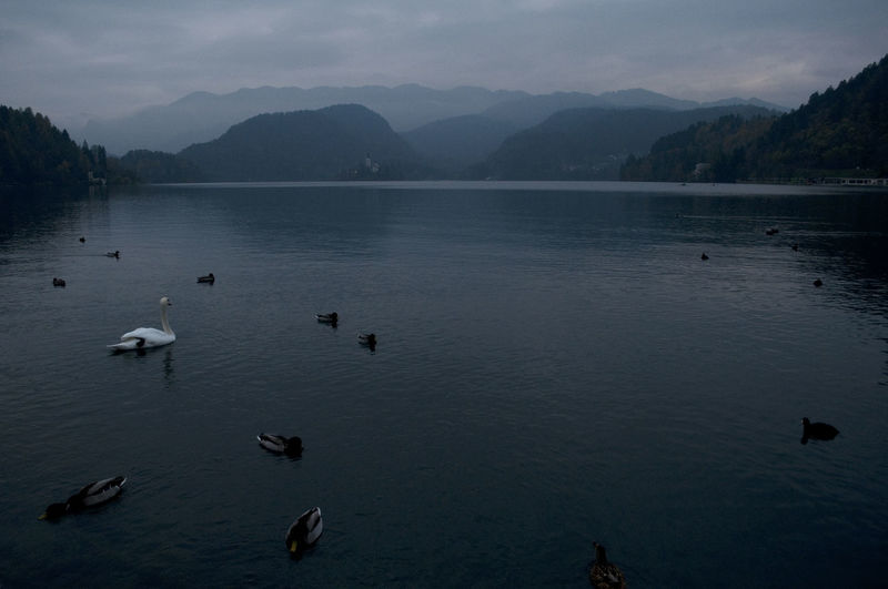 Swans swimming in lake against mountains