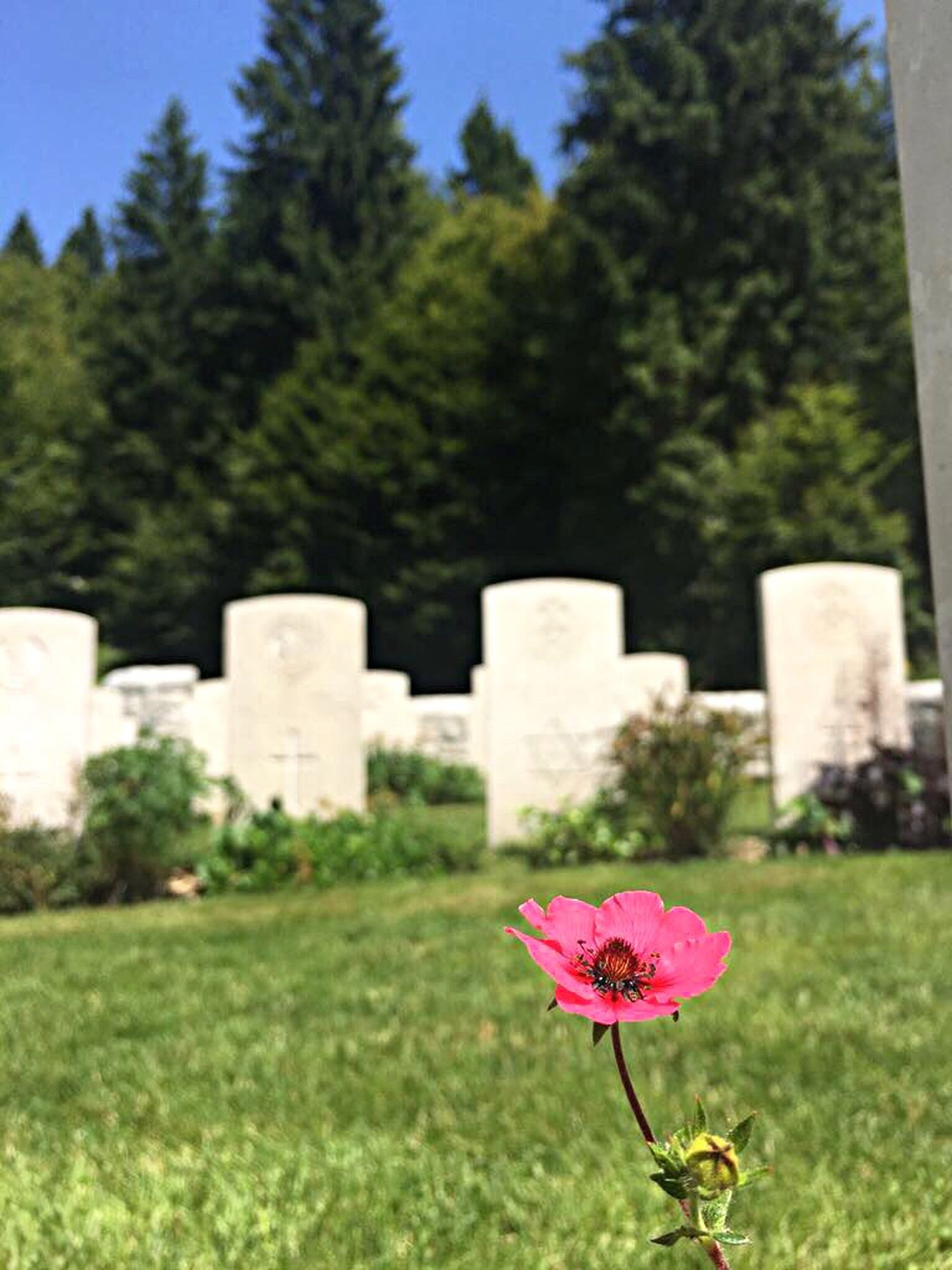 cemetery, tombstone, memorial, flower, grass, nature, no people, day, grave, tree, outdoors, gravestone, graveyard, growth, plant, red, beauty in nature, close-up, flower head