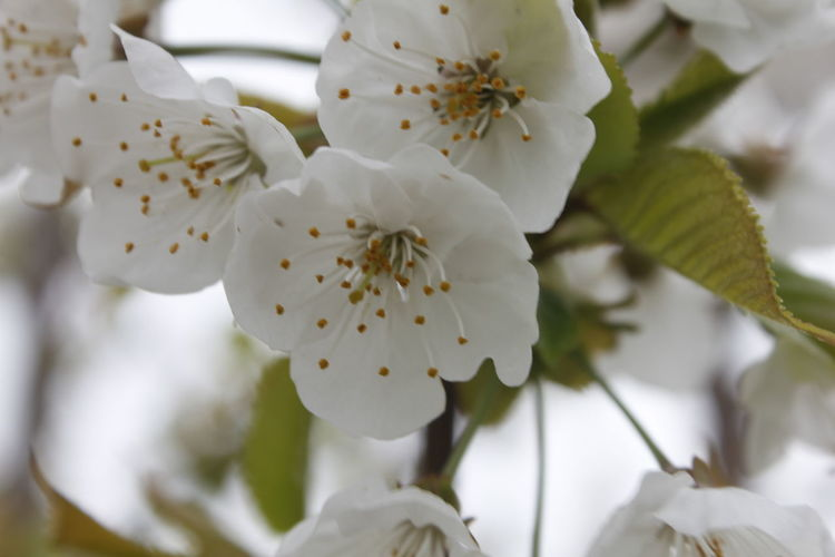 Spring Flower Beauty In Nature Growth Freshness Petal Close-up White Color Blossom Springtime Outdoors Cherry Blossom No People Fragility