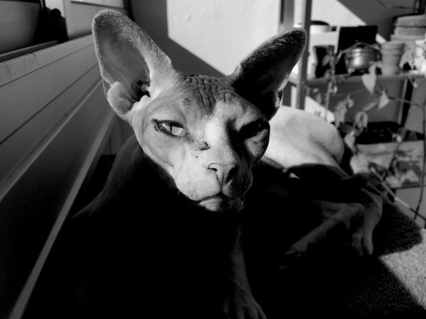 Abbe the Alien. Alien Pet Portraits Sweden Animal Themes Black And White Cat Cats Close-up Domestic Animals Hairless Cat Indoors  Looking At Camera Pets Sphynx