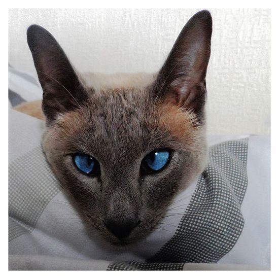 Prince The Cat Blue Diamonds Blue Eyes Cuddly Cute Focus Kitty Meow Paws Purr Siamese First Eyeem Photo