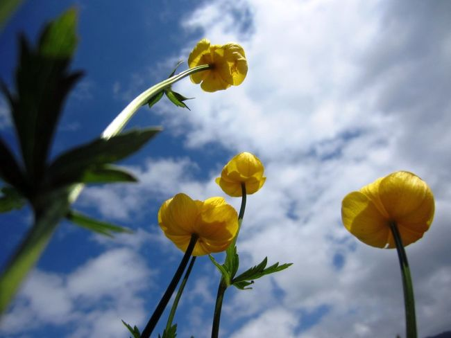The sun shines today and the joy of coming spring and summer is creeping in. Blossom Butterblumen Buttercup Flower Flower Collection Gaiety Growth Joy Joyful Nature_collection Sky And Clouds Sky_collection Spring Summer Wormseyeview Yeah Springtime!
