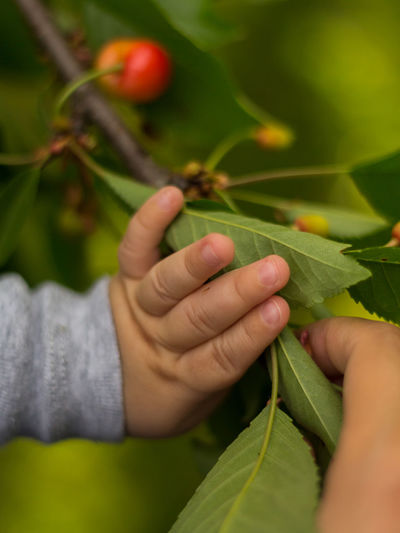 Baby's hands picking cherries Baby Hand Baby Hands  Cherry Picking Cherry Tree Close-up Finger Food Food And Drink Fruit Green Color Growth Hand Healthy Eating Holding Human Body Part Human Hand Leaf Nature One Person Plant Plant Part Real People Red Selective Focus
